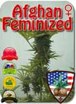 afghan-feminized-seeds