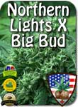 nl-big-bud-seeds