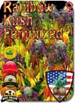 rainbow-kush-feminized