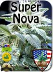 super-nova-bud-seeds